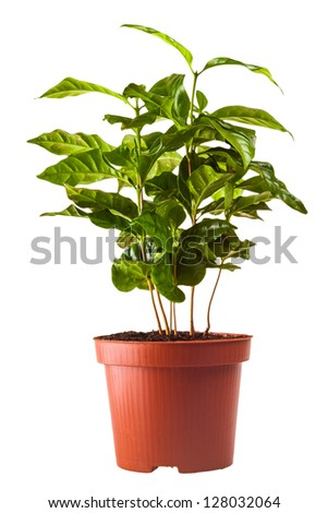 young green sprouts bush of coffee in the terra-cotta pot isolated on white background - stock photo