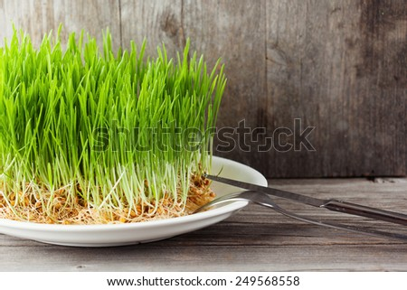 Young green sprouts of wheat on old wooden background, healthy lifestyle - stock photo