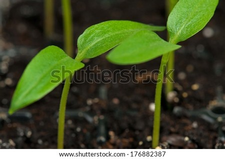 Young green sprouts on a black organic soil close-up