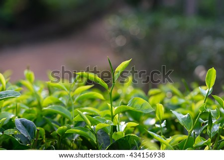 Young green tea leaf sprout on tea bush at plantation - stock photo