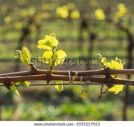 young green tender leaves of grapes in spring. Selective focus. Vineyard in springtime. The Guyot method of vine training. Green Vineyard