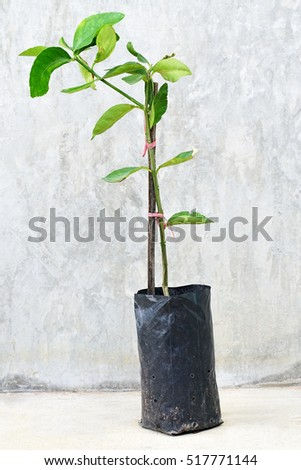young green tree in plastic bag on grey background.