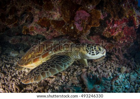 Young Green turtle hiding in the cavern. Moorea, French Polynesia.