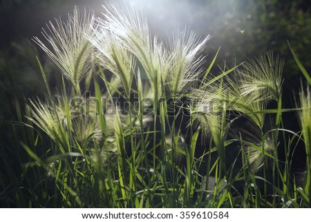 Young green wheat crop is growing high - stock photo