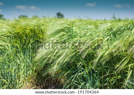 young green wheat  in spring