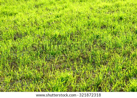 Young green wheat winter crops field background sunny and vibrant - stock photo