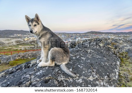 Young Greenland Husky sitting in front of Ilulissat in Greenland - The Greenland Husky is a large breed of husky-type dog kept as a sled dog and for hunting polar bear and seal. - stock photo