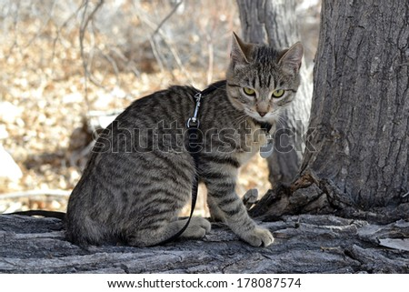 Young grey brown tabby cat with harness and leash exploring nature - stock photo