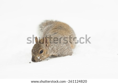Young Grey Squirrel Isolated White Background