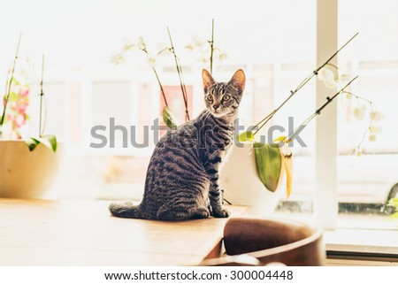 Young grey tabby cat sitting on a wooden table indoors at home in front of a high key window looking back into the room with curiosity - stock photo