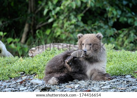 Young grizzly Bear cub playing on a log. - stock photo