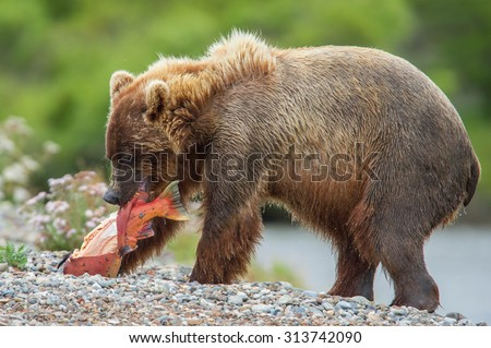 young grizzly bear expertly skins the salmon just caught - stock photo