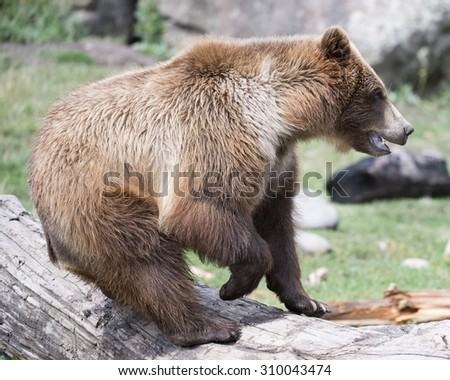 Young grizzly bear jumps off log - stock photo