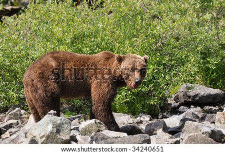 young grizzly male