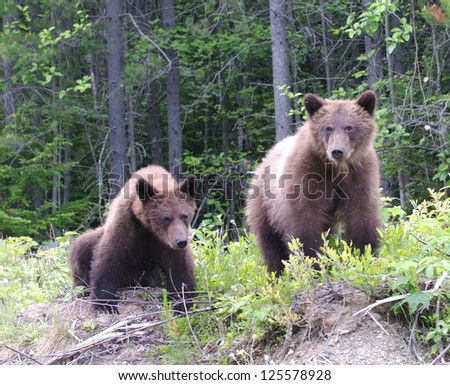 Young Grizzly Siblings - stock photo