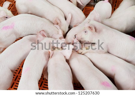 young Group piglet feeding at breeding pig farm - stock photo