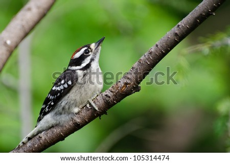 Young Hairy Woodpecker Perched in a Tree - stock photo