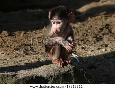Young Hamadryas baboon posing in the sun - stock photo