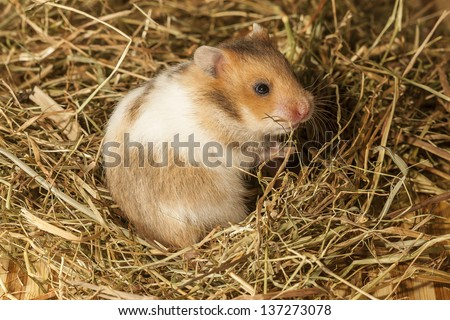 Young hamster ion the hay.  - stock photo