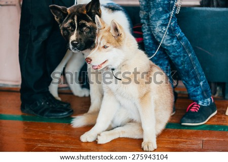 Young Happy Husky Puppy Eskimo Dog And American Akita Sitting Together On Wooden Floor