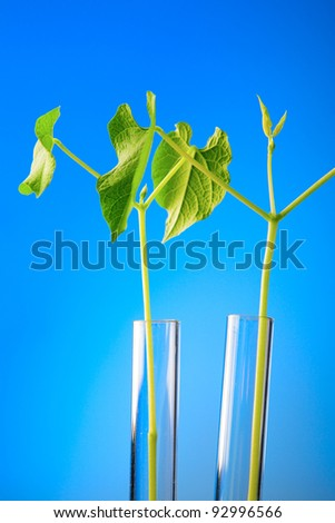 young haricot plant in the laboratory test tube
