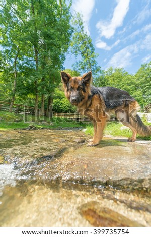 Young healthful german sheperd dog standing on the part of small mountain creek - stock photo