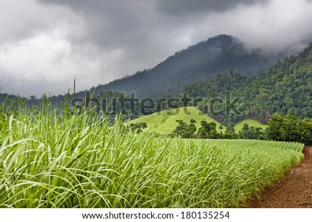Young healthy sugar cane growing with cloudy sky  and mountains in background - stock photo