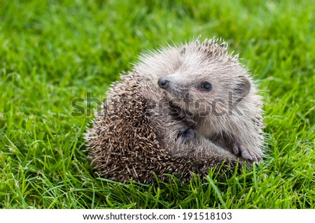 Young Hedgehog in a ball on a green grass