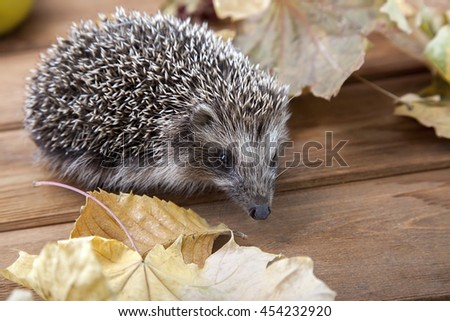 Young hedgehog in autumn leaves on the wooden floor - stock photo
