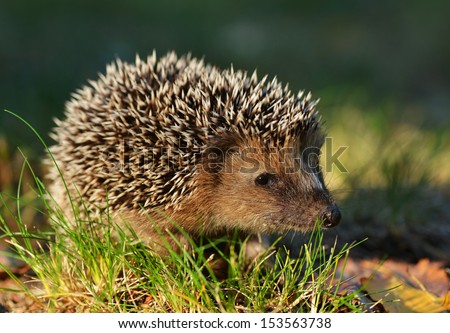 Young hedgehog in natural habitat - stock photo