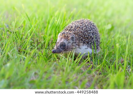 Young hedgehog in natural habitat walking at green meadow. - stock photo