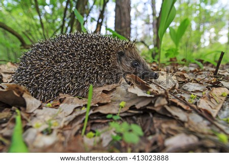 young hedgehog of lilies of the valley, young animal spines on the back - stock photo