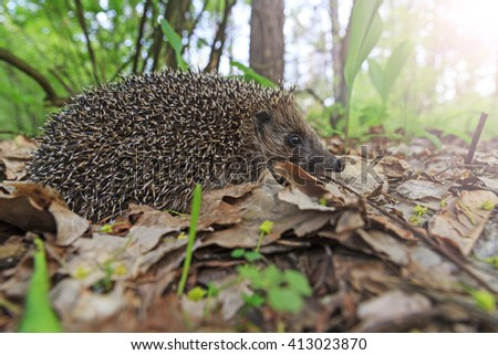 young hedgehog of lilies of the valley , young animal spines on the back with sunny hotspot - stock photo