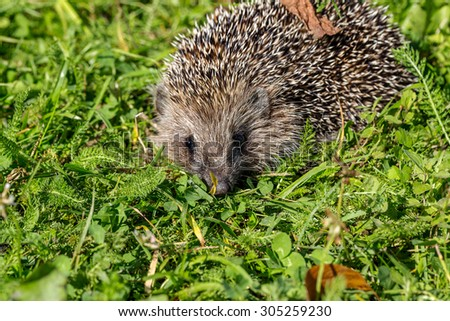 Young hedgehog on green grass in natural habitat - stock photo