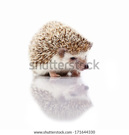 Young hedgehog on isolated background - stock photo
