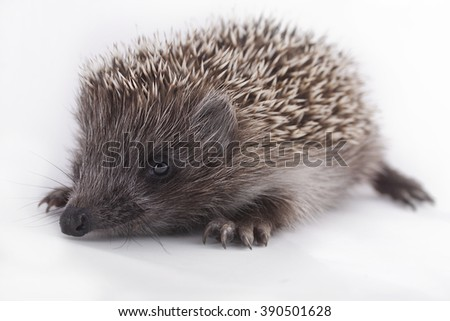young hedgehog on natural background - stock photo