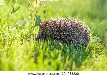 Young hedgehog on the grass- back light - stock photo
