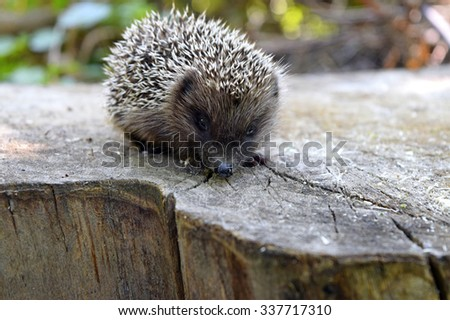 Young Hedgehog on the stump