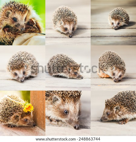Young Hedgehog On Wooden Floor Set Collage - stock photo
