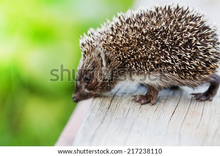 Young hedgehog / selective focus