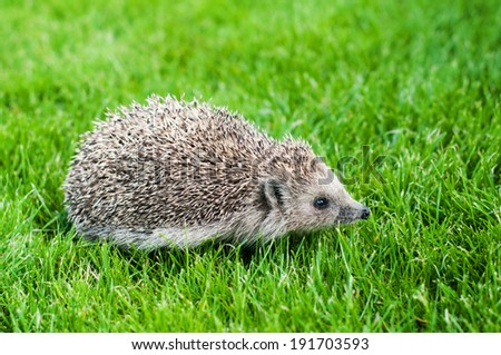 Young Hedgehog walks on a green grass