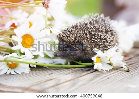 Young hedgehog with daisy flowers - stock photo