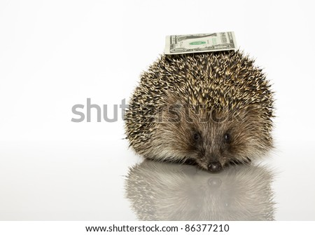 Young hedgehog with dollar, about a year. In  front of white background - stock photo