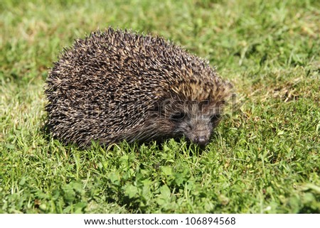 Young hedgehogs in green grass - stock photo