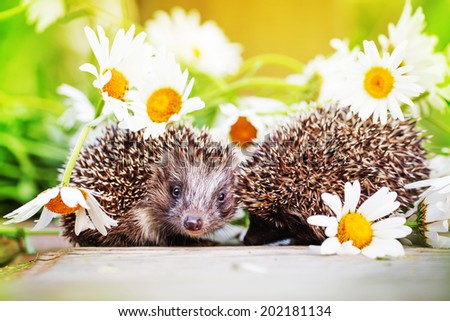 Young hedgehogs with daisy flowers - stock photo