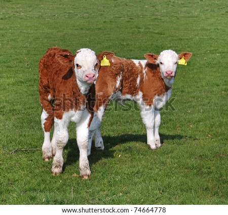 Young Hereford Calves standing in an English Meadow - stock photo