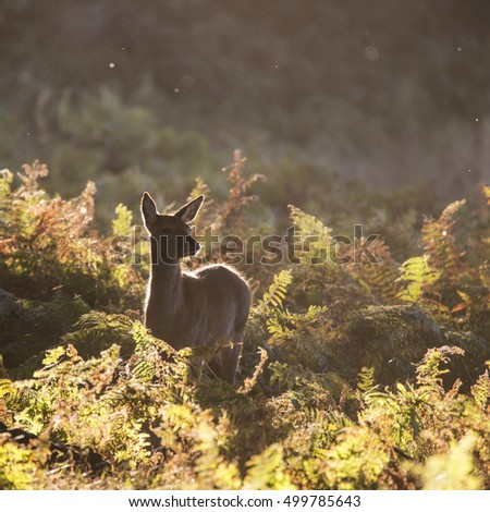 Young hind doe red deer calf in Autumn Fall forest landscape image