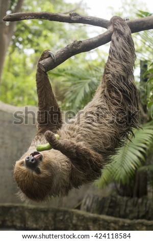 Young Hoffmann's two-toed sloth on the tree eating cucumber - stock photo