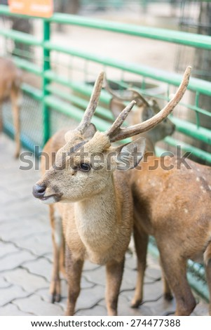 young hog deer in zoo thailand - stock photo