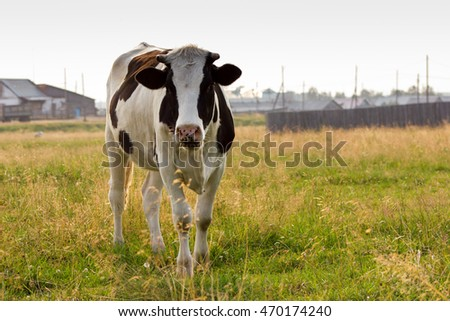 Young holmogorskaja cow grazing on a pasture on sunny day